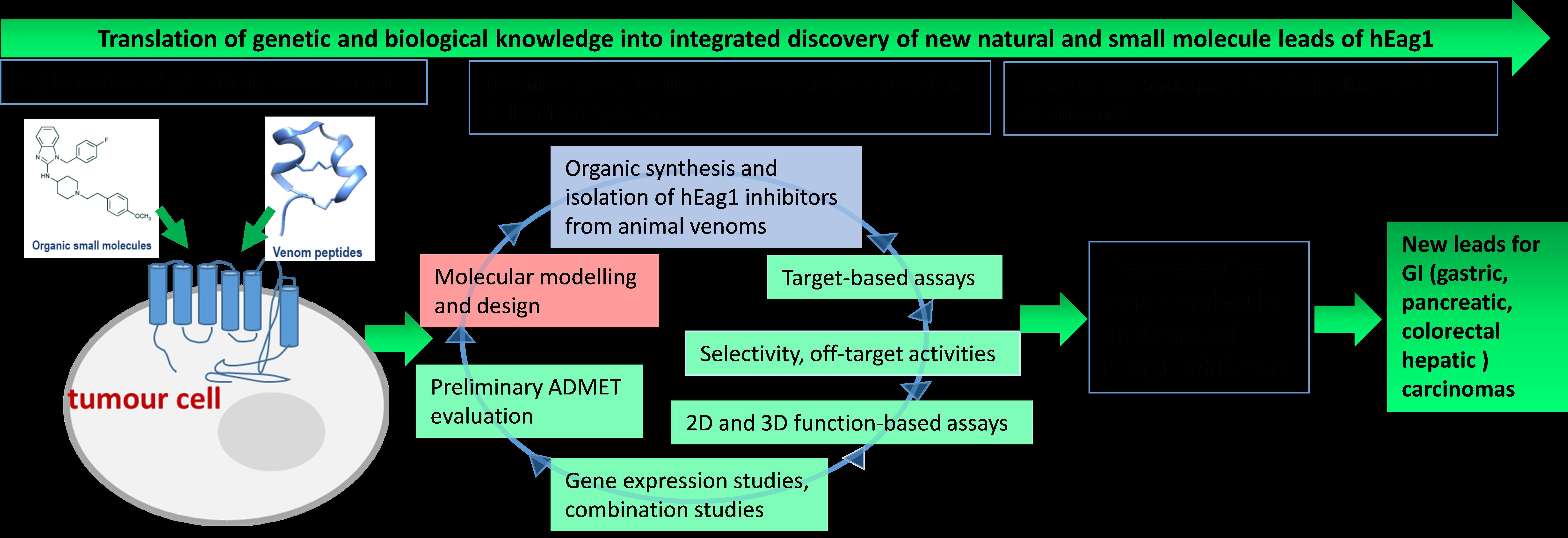 Odkrivanje in mehanizem delovanja novih spojin vodnic hEag1 kalijevih kanalov s protirakavim delovanjem opis